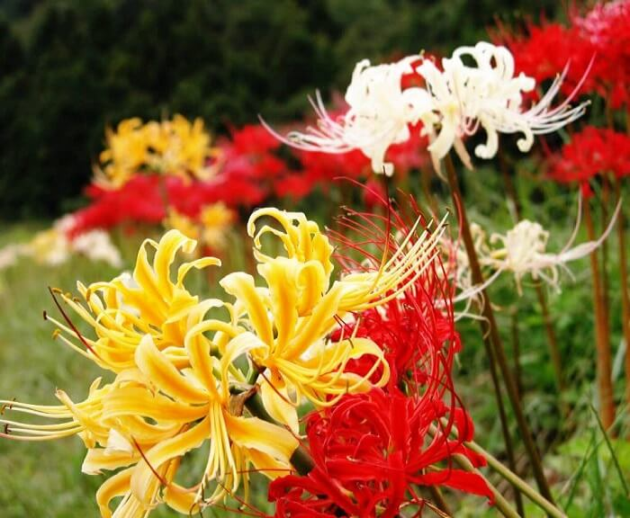 Hoa bỉ ngạn có 3 màu trắng, vàng và đỏ